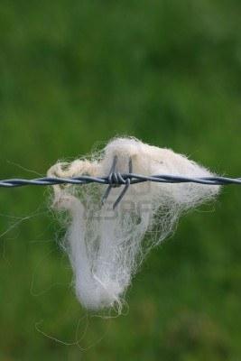 4730705-un-mechon-de-ovejas-de-lana-blanca-pegada-a-una-seccion-de-alambre-de-puas-de-acero-gris-con-un-enfo